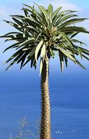 Ein stacheliger Stamm mit einem grünen Blatthaupt: das ist die Madagaskar-Palme.