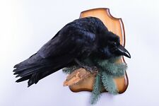 Taxidermy Raven Bird Real Stuffed mounted Gothic