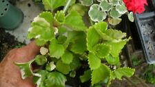House plant / VARIEGATED   Swedish Ivy