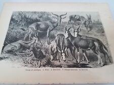 John Kinsley. 1884 Mammals. Antelopes. Antique Book Print Africa. Wall Decor