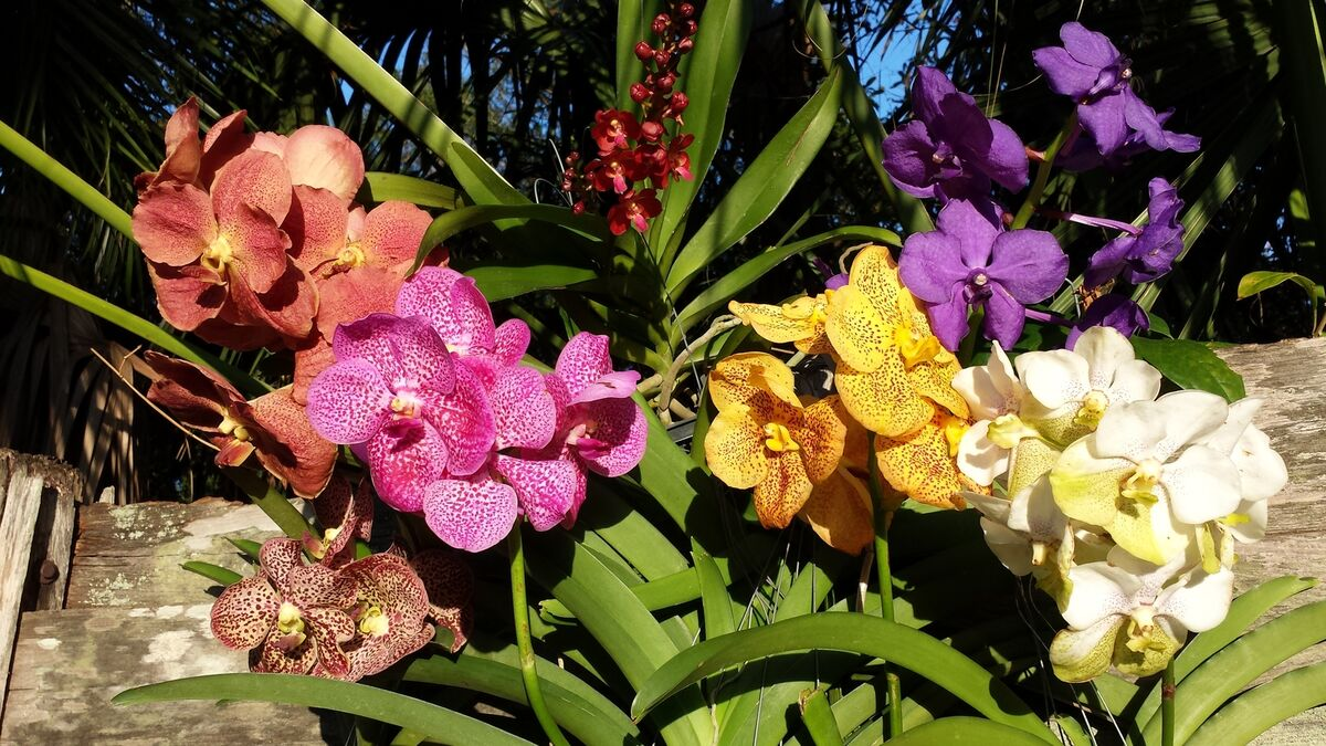 Orchid Vanda Rhync gigantea Catoon in spike Exotic Tropical Plant