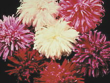 Aster Crego Giant Mix Seed Annual Excellent Cut Flower