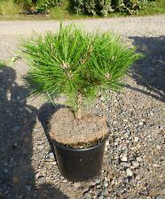 Pinus densiflora Low Glow - grafted  in 7cm pot bonsai subject
