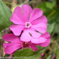 Red Campion Silene dioica British wildflower fresh meadow flowers 3000  seeds