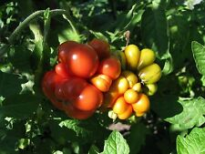 Reisetomate kuriose Tomate aus Guatemala seltene Tomatensamen