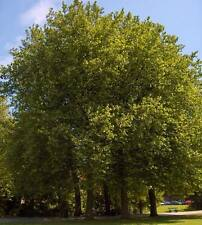 Platanus Acerifolia - 100 Seeds - London Plane Tree