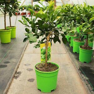 Citrus hystrix / Kaffir Lime Mini-stem : 2L : 30-40cm High (exc pot)