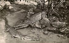 CARTE POSTALE ANIMAL ANIMAUX ALIGATOR CROCODILES