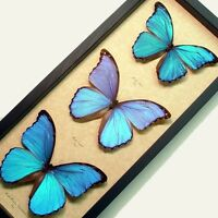 Real Framed Giant Blue Morpho Butterfly Collection 8111