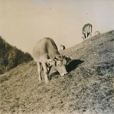 ALPAGE DU JURA c. 1950 - Vaches Pâturages - NV 441