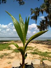 Coconut Palm Tree 2' tall x 1 (Licensed to ship to ALL cont. USA states exc TX)