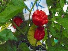 NUMEX SUAVE RED ,Capsicum chinense,20 SEEDS,SEMILLAS ,cosecha propia (49)