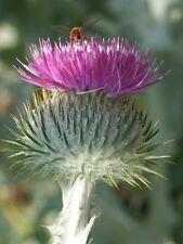 Garten Pflanzen Samen winterharte Zierpflanze Saatgut Staude ESELSDISTEL
