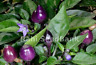 CAP 1546 - A Nice Ornamental but Hot Japanese Chilli Variety - OZ Grown Seeds!