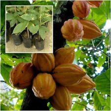 "Cacoa Tree Plant Tall 15"" Theobroma Cacao Chocolate Tree Exotic Tropical Thai"