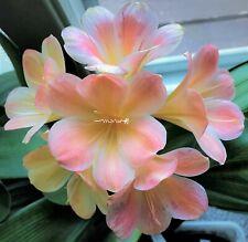 2 Amaryllis Usa Clivia Seeds Hattori Monalisa (Japan) X Hattori Gemma(Japan)