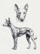 PHARAOH HOUND CHARMING DOG GREETINGS NOTE CARD, LOVELY HEAD STUDY & STANDING DOG