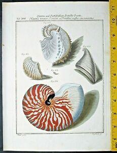 Beautiful Sea shells,Martini,Conchylien-Cabinet,handcol.Engraving,1768. #18