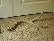 Large Deer Antler 3 Point