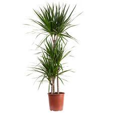 Gerandeter Drachenbaum 3-Stamm - Dracaena marginata - Höhe ca. 120 cm, Topf-Ø 21