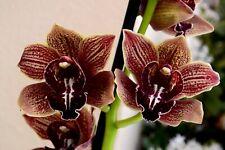 "Cymbidium hybride ""Vienna"", XL Orchidée 2-3 tiges floral , Orchid"