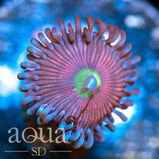 New listing Asd - 028 Toxic Eye Zoanthids - Wysiwyg - Aqua Sd Live Coral Frag