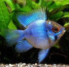 "Par De mikrogeophagus Ramirezi 'globo azul eléctrico"" (Enano Cichlid)"