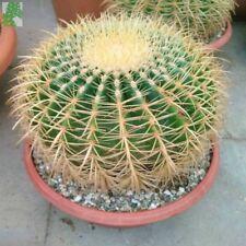7 semi CactusEchinocactus grusonii Seeds (cuscino della suocera)