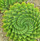 aloe polyphylla SEEDS rare succulent~ spiral aloe~ Succulents seeds