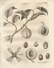 1797 Georgian print ~ myristica BOTANIQUE semences de plantes FRUITS NOIX