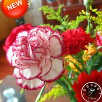 200 PCS Seeds Red Edge Carnation Bonsai Plants Dianthus Caryophyllus Flowers New