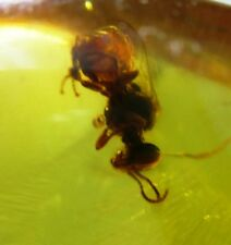 Stingless bee fossil in Dominican Amber