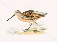 Brown Snipe-Game Bird Art Print-GRATIS UK P & P