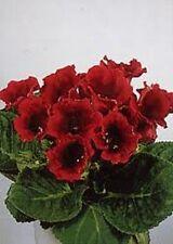 25+ GLOXINIA AVANTI SCARLET FLOWER SEEDS / HOUSE PLANT