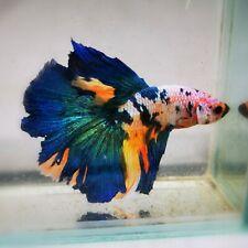 Live Betta Fish - Male - Koi Marble Candy Blue Multicolor Halfmoon (ADEC95)
