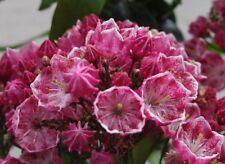 Kalmia latifolia Ostbo Red, Berglorbeer, Blüte weiß-dunkelrosa, immergrün