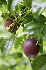 4 Passion Fruit Live Plant Possum Purple Four Plants Graden Outdoor