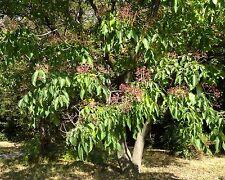 Bienenbaum • Honigbaum • 50 Samen/seeds •Tetradium daniellii (Evodia hupehensis)
