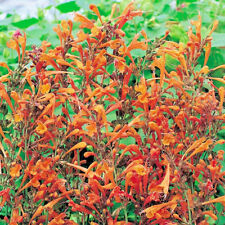Agastache x hybrida 'Kudos Gold' Large Plug Plants x 3 Hardy Perennial