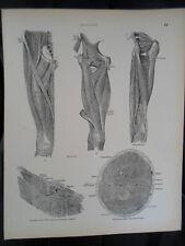 #34 Rare Vintage Old Print From Descriptive Atlas of Anatomy 1880  Medical Retro