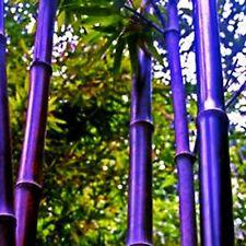 50+ Bamboo Seeds Bambusoideae Poaceae Rare Garden Plant bamboo rare violet plant