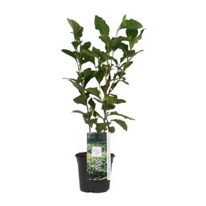 Camelia Sinensis Tea Plant 10.5cm Pot