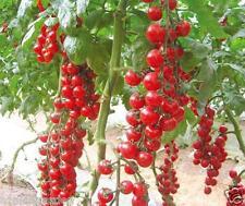 Rare RED SUN SUGAR CHERRY TOMATO SEEDS , 30 seeds ,Vegetable Seeds