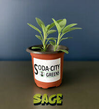 Sage Live Herb Plant! Ready for your garden!