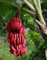 100PCs Banana Seeds Red Dwarf Tree Bonsai Fruit Decor Home Gardening Planting
