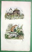 SHREW & Musk Quadrupeds !! SUPERB Natural History H/C Color Print Engraving