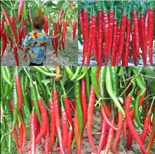HOT!! 50Pcs Home Garden Rare Giant Spices Red Spicy Chili Pepper Seeds FREE SHIP
