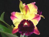 FRAGRANT! ~ Cattleya Orchid ~ Blc. Toshie Aoki 'Starburst'