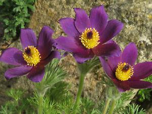 Pulsatilla Vulgaris(Pasque Flower) -Native Perennial Rockery Plant in 9cm Pot