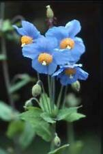 Himalayan Blue Poppy - Meconopsis betonicifolia - 1-1.5m, 3-5ft Tall - Beautiful